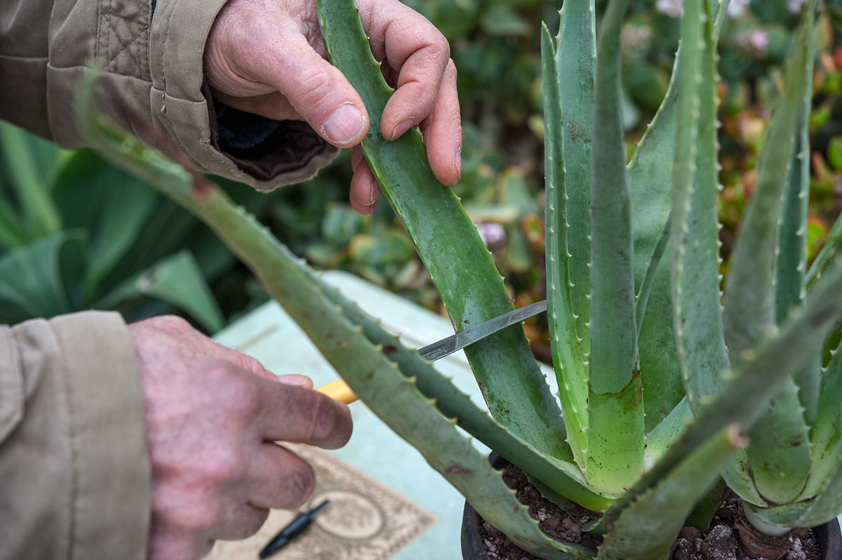 Aloe vera il farmaco in vaso for Aloe pianta